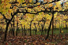 vinhedos valley vineyard, rio grande do sul