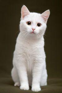 This lovely white #kitten has gold eyes