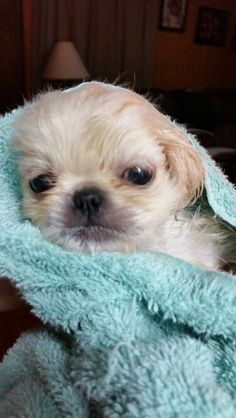 Look at my Pekingese puppy Lacy Rose