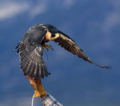 Random photos, let's have them - Page 2 - North American Falconers Exchange-Falconry Forums