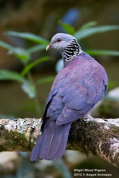 NILGIRI WOOD PIGEON - Columba elphinstonii . . . Western Ghats in SW India