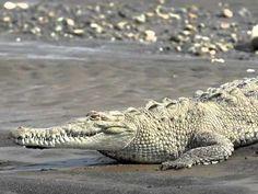Krokodil: lied 'De krokodil ligt in het water' Beneath The Sea, Under The Sea, Welcome To The Jungle, Music For Kids, Crocodile, Safari, School, Water, Fun