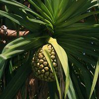 Hawaiian Fruit or Cones - Pandanus tectorius – Hala