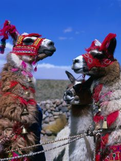 Llamas in Full Dress from the Alto Plano (High Plain) Region, Puno, Peru