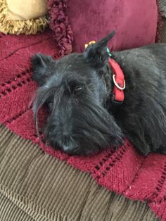 Welsh Terrier, Scottish Terriers, Corgis, Westies, Two Dogs, Small Dogs, Jack Russell Mix, Lord Of The Dance, Schnauzers