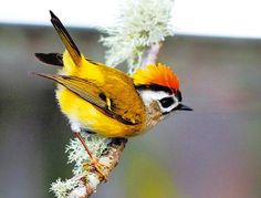 Flamecrest or Taiwan Firecrest (Regulus goodfellowi) is a species of bird in the kinglet family, that is endemic to the mountains of the island of Taiwan.