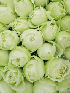 I had a hybrid tea in my garden years ago that had pale green buds. This is not the variety, but these are gorgeous. Love Flowers, Fresh Flowers, White Flowers, Beautiful Flowers, Beautiful Pictures, Green Rose, Mint Green, Vert Olive, Hybrid Tea Roses
