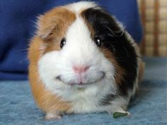 smiling guinea pig