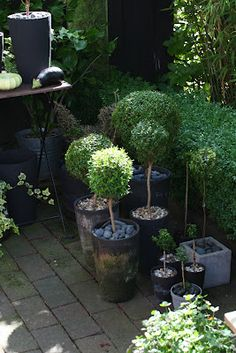 Buxus topiaries with cobble stones in containers