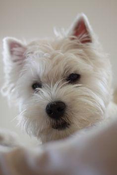 Westie Romy puppy chiot 7 mois