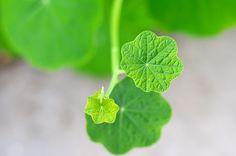 Grüne Blätter mit natürlicher Sonnenbeleuchtung von unten :-)