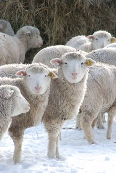 Northern Sheep Carrington, a breed found in the British Isles, Scandinavia, and the Baltic.