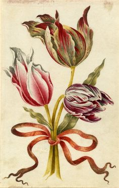 Drawing from an album, yellow and red, and white and red Tulips, tied with orange ribbon Watercolour over metalpoint, shaded with grey wash, on vellum