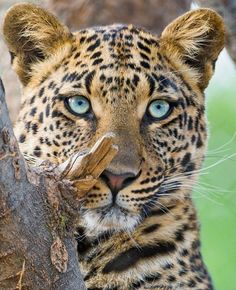 leopard with blue eyes … awww ! leopard with blue eyes … Nature Animals, Animals And Pets, Cute Animals, Wild Animals, Big Cats, Cats And Kittens, Cute Cats, Beautiful Cats, Animals Beautiful