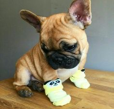 """""""Why don't I get socks for my other feet?"""" ....""""they're cold too"""", adorable French Bulldog Puppy"""