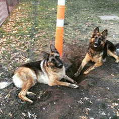 Kodiak and her BFF Zoe. #gsd#pups#bff