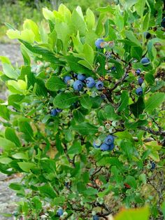 Blueberry plants are easy to grow, almost pest-free, and last a long time--and healthy!