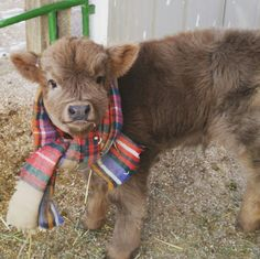 Scottish Highland calf named Grizzly.  He is 3w old. cow steer cute animals baby animals dressed up cows very cute fuzzy animals