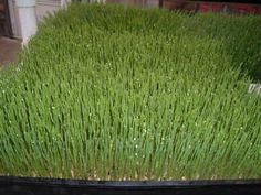 How to grow wheat grass step by step instructions