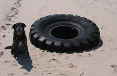 Miniature Jack or really big tire? #dogs