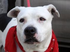 GONE - 1/15/15 Manhattan Center TWIN aka HAPPY - A0958985 *** RETURNED ON 1/15/15 - COST *** EUTHANASIA REQUEST *** FEMALE, WHITE / BLACK, AM PIT BULL TER MIX, 12 yrs OWNER SUR - ONHOLDHERE, HOLD FOR ID Reason COST Intake condition EXAM REQ Intake Date 01/15/2015 https://www.facebook.com/Urgentdeathrowdogs/photos/a.915753675104179.1073743299.152876678058553/581568688522681/?type=3&theater