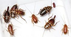 Three Natural Ways to Get Rid of Cockroaches in Your Home