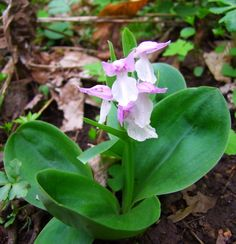 Showy Orchis (Orchis spectabilis)