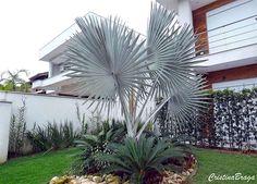 palmeira-azul-bismarckia-nobilis
