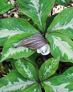'Silver Center' Japanese Cobra Lily