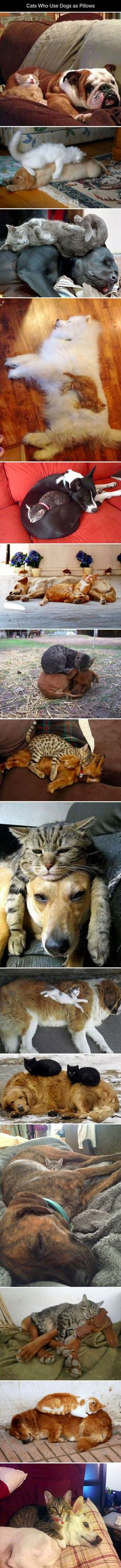 Cats Who Use Dogs As Pillows cute animals dogs cat cats adorable dog animal kittens pets kitten hilarious funny pictures funny animals funny cats funny images