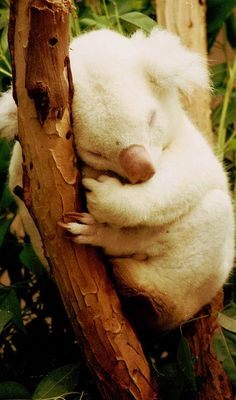 Cute albino koala at the San Diego Zoo in California • photo:  Bill Kuffrey on Flickr