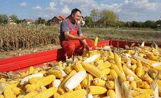 У силосима осам милиона тона кукуруза - http://www.vaseljenska.com/wp-content/uploads/2015/02/eko-srb-njive_620x0.jpg  - http://www.vaseljenska.com/ekonomija/u-silosima-osam-miliona-tona-kukuruza/