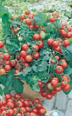'Vilma' is a productive and easy-care balcony tomato. It takes up little space, does not require support and it is also not necessary to break out the side shoots. Buy balcony tomato 'Vilma' in the MEIN SCHÖNER GARTEN shop Diy Garden Projects, Diy Garden Decor, Growing Herbs, Growing Vegetables, Amazing Gardens, Beautiful Gardens, Pot Jardin, Pallets Garden, Gnome Garden