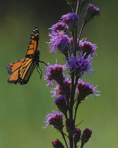 Liatris ligulistylis (Meadow Blazing Star)  - with the culver root