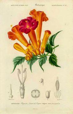 Trombeta-chinesa – Campsis grandiflora  A trombeta-chinesa é uma trepadeira perene e muito vigorosa, de florescimento decorativo. Seu caule é volúvel, de textura semi-lenhosa, ramificado e emite raízes adventícias que aderem aos suportes, auxiliando sua fixação e crescimento vertical.  http://sergiozeiger.tumblr.com/…/trombeta-chinesa-campsis-g…  A trombeta-chinesa é uma planta apropriada para escalar e cobrir árvores secas, colunas, grades, cercas, pórticos, arcos e caramanchões.