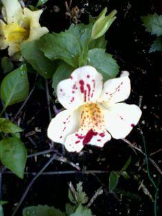 Fiore di melillo