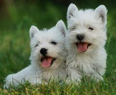 My fav breed - Westies.