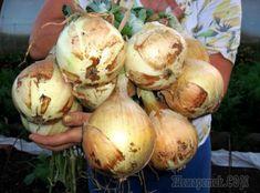 Summer House Garden, Vegetable Garden, Garden Landscaping, Onion, Deserts, Vegetables, Ethnic Recipes, Plants, Food