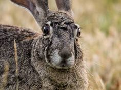 Photo: The jackrabbit that wins all the staring contests