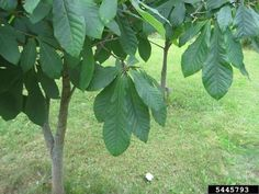 The Paw Paw - Asimina triloba, is a small deciduous fruit bearing tree that is native to North America. They grow wild in much of the ea. Paw Paw Tree, Fruit Bearing Trees, Fruit Flies, Eating Raw, Fresh Fruit, Plant Leaves, Seeds, Tropical, North America