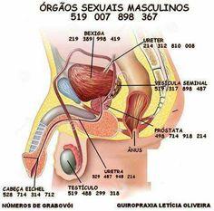 Orgaos masculinos