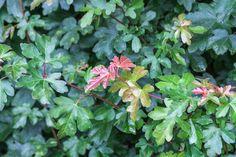 Feldahornhecke mit leichter Herbstfärbung
