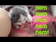 Adorable Scottish Fold kitten has an obsession with ear nibbling ... @Katie Sielaff