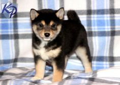 black shiba inu | Hammer – Shiba Inu Puppies for Sale in PA | Keystone Puppies