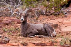 At Ease | Big Horn Ram. Zion National Park. Utah (pinned by haw-creek.com)