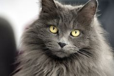 Newest Pics grey cat breeds Ideas Kitties together with large ear might well be the most adorable pets in the world. All these special variations that th Short Hair Cat Breeds, Grey Cat Breeds, Nebelung Cat, Cats Cast, Cat With Blue Eyes, Long Haired Cats, Grey Cats, Blue Cats, Russian Blue