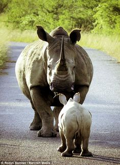 NowMyNews: As playful as spring lamb (just a lot heavier): Bouncing baby rhino skips