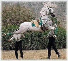 Lippizaner performing the capriole. I saw these horses perform when I was a teenager. All The Pretty Horses, Beautiful Horses, Animals Beautiful, Zebras, Animals And Pets, Cute Animals, Andalusian Horse, Friesian Horse, Arabian Horses