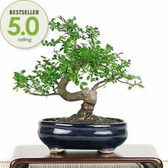 Bonsai - Chinese Elm Bonsai Tree from EasternLeaf.com ; Characterized by its leaf shape and strong stem development, the Chinese Elm Bonsai ...