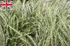 British tall rosemary at New Covent Garden Market - August 2015